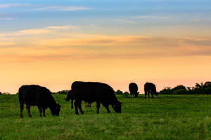 Image of cows in a pasture at sunset